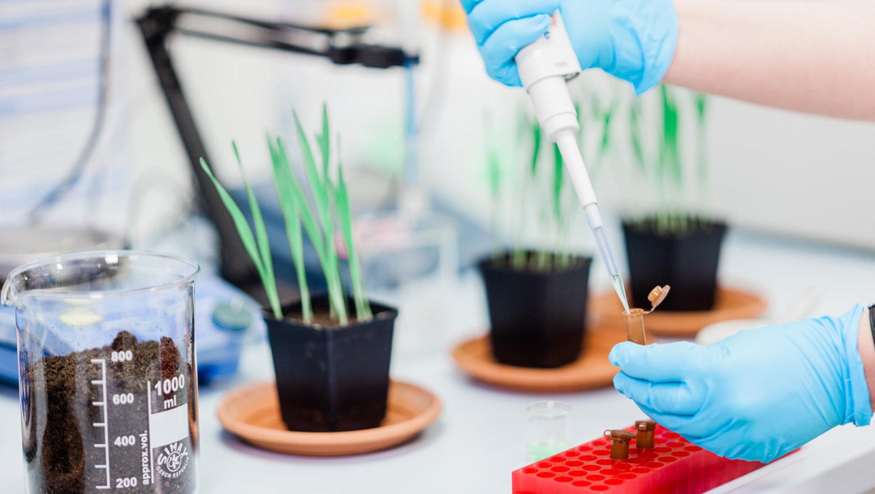 Testung von Abwehrmechanismen von Pflanzen gegenüber Pilzbefall- nach Behandlung mit Extrakten