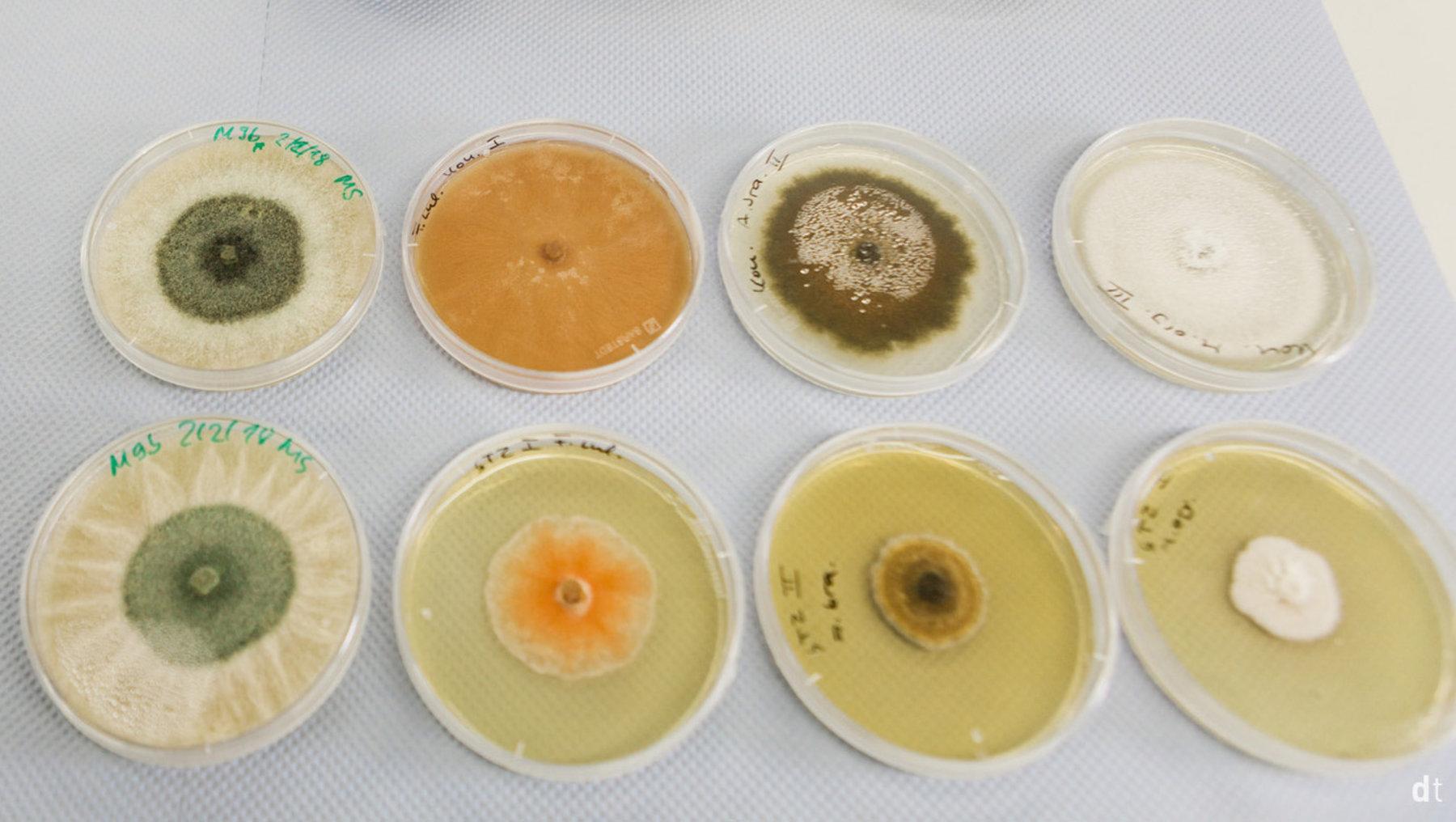 Überprüfung der antifugalen Wirkung von Extrakten aus endophytischen Pilzen/in-vitro Myzelwachstumstest